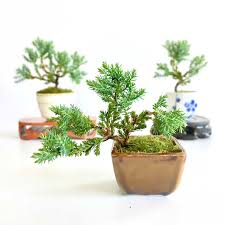 bonsai trees for sale online bonsai warehouse free delivery
