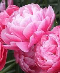 tulip aveyron flower bulb index