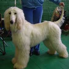afghan hound utah afghan hound puppy love pinterest take care of yourself