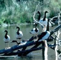 Magpie Birds In Backyards Magpie Goose Birds In Backyards