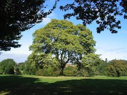 buy sycamore tree seedlings 99 get free shipping