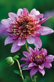how to grow dahlias garden ideas u0026 inspiration houseandgarden