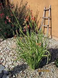 native sonoran desert plants grasses u2013 arizona desert xeriscape