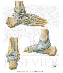 Talus Ligaments Of The Ankle And Foot Calcaneus