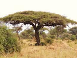native plants of africa vachellia tortilis wikipedia