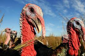 don t get duped on heritage turkey chowhound