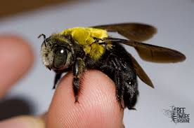 a pollination predicament bumblebees and their presence in