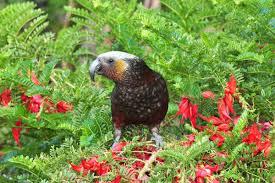 native nz plants kaka new zealand birds online
