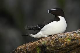 si e habitat alce razorbill torda alca uccello sveglio in bianco e nero