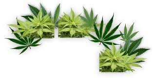 Craigslist Sacramento Furniture Owner by Medical Marijuana Job Recruitment Hempstaff Dispensary Training