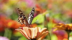 what do butterflies do for the environment sciencing