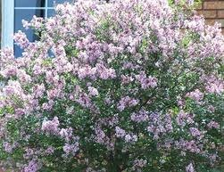 home depot parker hours black friday dwarf korean lilac from home depot canada 69 99 for the garden