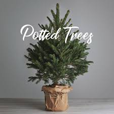real potted christmas trees grow your own christmas tree