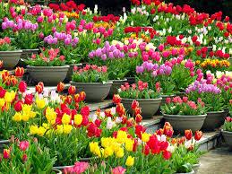 tulip 1115 tulip flowers