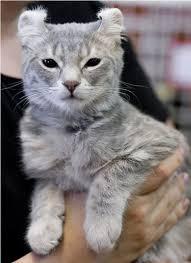 Hair Dryer Khusus Kucing kucing american curl shorthair cat scottish sh kucing
