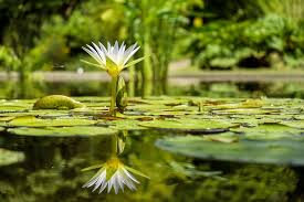 free photo water flower flowers pond free image on