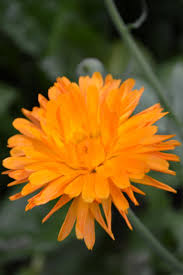 5 ways to preserve and use calendula flowers joybilee farm