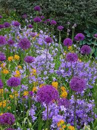 allium u0027holland sensation u0027 erysimum campanula purple u0026 orange
