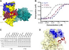 the aff4 scaffold binds human p tefb adjacent to hiv tat elife