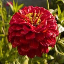 zinnia flowers zinnia flower seeds seeds
