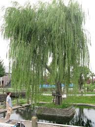 2008 george washington s grave site weeping willow tree clone the