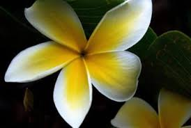 plumeria flower how to pollinate a plumeria home guides sf gate