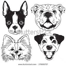 boston terrier drawing stock images royalty free images u0026 vectors