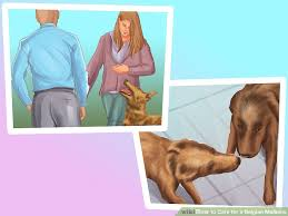 belgian malinois energy how to care for a belgian malinois with pictures wikihow