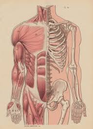 Anatomy Of Shoulder Muscles And Tendons Muscles Tendons And Ligaments The Basics U2014 Musicians U0027 Health