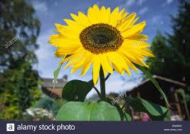 garden flowers sunflower giant single hardy annual against a