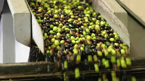 italian olives italy s olive oils the bad and the
