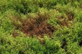 Plant Diseases With Pictures - plant diseases lentils legume matrix