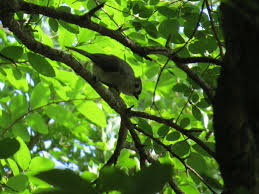 Canopy Birds by Birds Of The North Texas Summer Album On Imgur