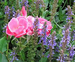 perennial plant combinations