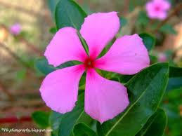 madagascar native plants catharanthus roseus madagascar periwinkle nature cultural and