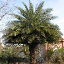 sylvester date palm tree sylvester palm silver date palm sylvestris my garden