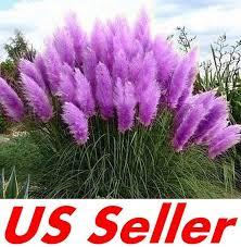 200 pcs ornamental purple pampas grass cortaderia selloana seeds