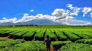 Teh Kayu Aro teh kayu aro jambi perkebunan teh tertua di indonesia ngetrip