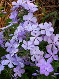 louisiana native plants prime perennials for shady areas state by state gardening web