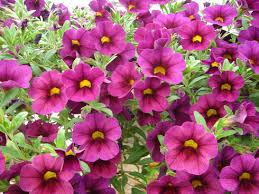www flowers calibrachoa flower garden calibrachoa