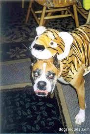 Halloween Costumes Boxer Dogs Halloween Costume U2013 4 U2013 Dogs Duds