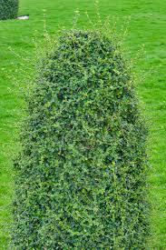 photo 1778 19 ornamental bush fukien tea tree ehretia near a