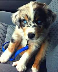 australian shepherd blue heeler 71 most cute australian shepherd puppies pictures and photos