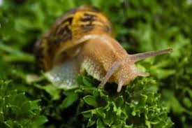 Where Can You Find Snails In Your Backyard Fidgety Fingers Which Garden Snail Is Edible