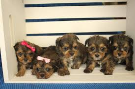 pictures of shorkie dogs with long hair shorkie shorkie poo tlc puppy love