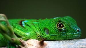 imágenes de iguanas verdes pequeña iguana verde 1920x1080 fondos de pantalla y wallpapers