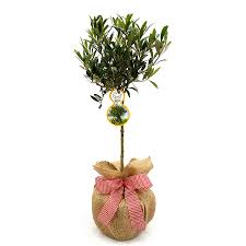 plant gifts mini stemmed olive tree by giftaplant