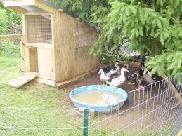scrap duck hut backyard chickens