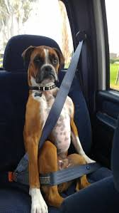 best 25 funny boxer dogs ideas on pinterest funny boxer boxer
