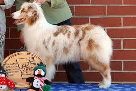 australian shepherd knoxville tn vesper aussies our retired aussies cider show history